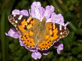 painted-lady-cynthia-cardui