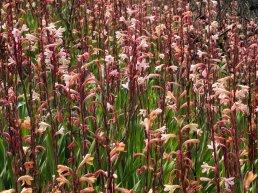 Massed Watsonia