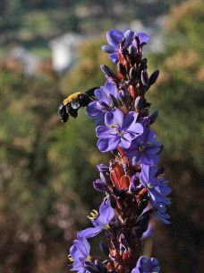 Xylocopa caffra, the Carpenter Bee, on Aristea