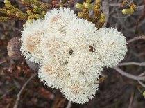 Brunia noduliflora