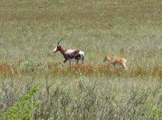 Bontebok and calf