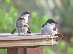 A family of Fiscal Flycatchers