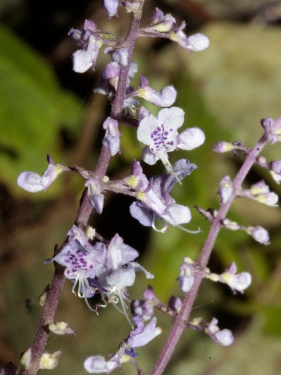 Plectranthus sp.
