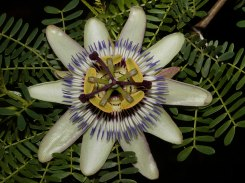 Passion Flower?