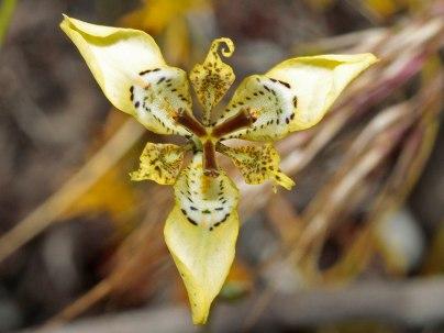 Moraea deltoides