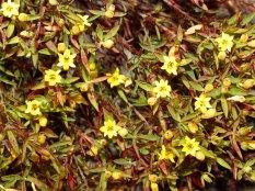 Gnidia juniperfolia