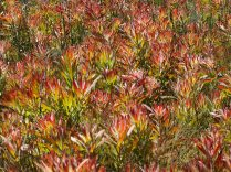 New Leucadendron leaves