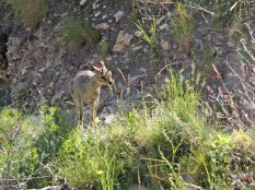 Klipspringer on the path