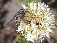 Agathosma bifida with pollinator