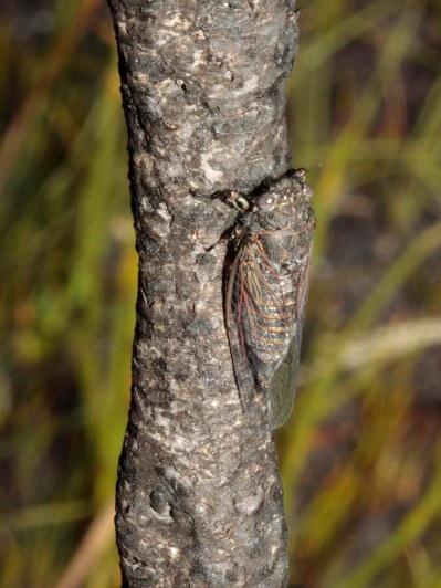 A miniature Cicada