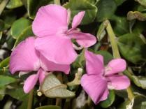 Podylaria argentea