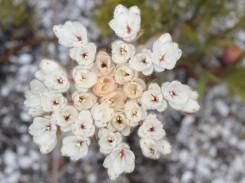 White Dilatris pillansii