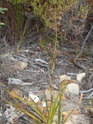 Acrolophia lamellata