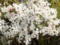 Gnidea pinifolia