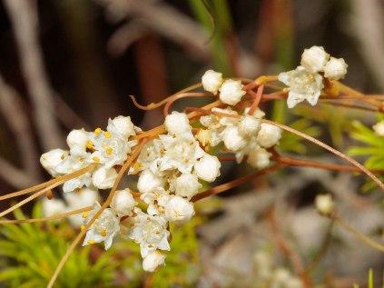Cuscata angulata