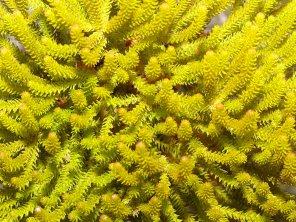 Brunia alupecoroides