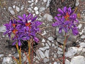 Thereianthus bracteolata