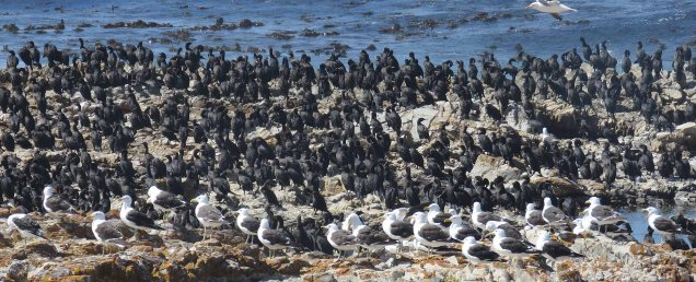 Kelp Gulls and Cape Cormorants