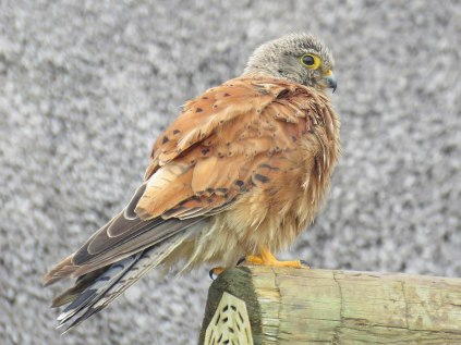 Rock Kestrel at our chalet