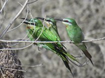 Blue-cheeked Bee-eaters