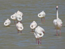 Greater Flamingos at rest