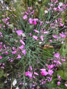 Indigofera filifolia