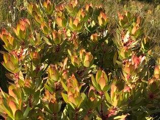 Leucodendron sp.