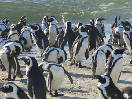 Penguins at Stony Point