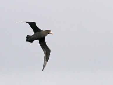 Possible immature Southern Giant Petrel?