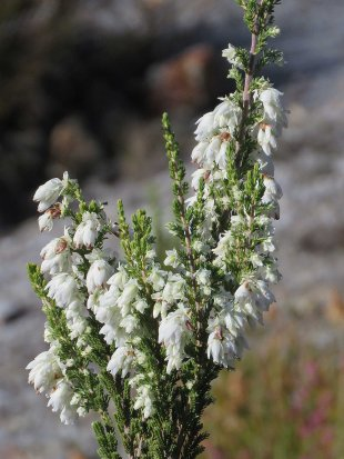 An Erica near the top of the road