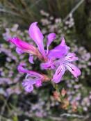 Tritoniopsis lata