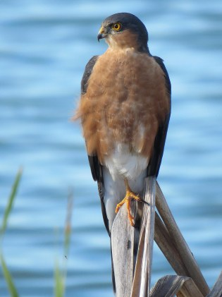 Rufous chested Sparrowhawk