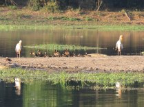 White-faced Whistling Ducks and Yellow-billed Storks