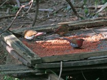 A pair of Red-throated Twinspots and a Red-faced Crimsonwing