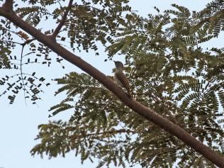Green-backed Woodpecker