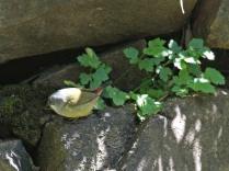 Yellow-bellied Waxbill