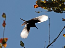 Bronzy Sunbird in flight