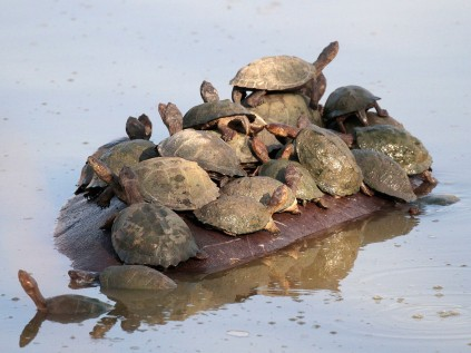 How many Turtles can get on a hippo's back