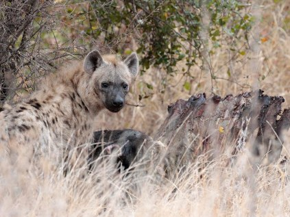 Hyena with buffalo carcass