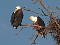 Fish Eagles next to their nest