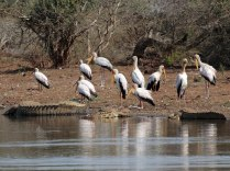 Yellow-billed Storks and friends