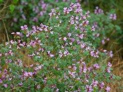 Hypocalytus oxalidifolia