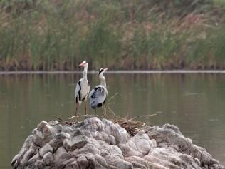 Nesting Grey Herons