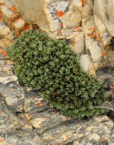 Dolichothrix ericoides