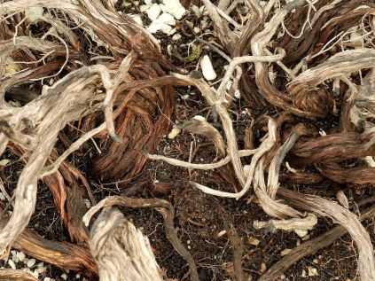 Gnarled stems