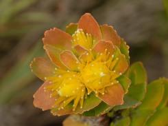 Leucospermum oleifolium buds