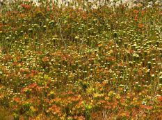 Leucadendrons and Berzelias