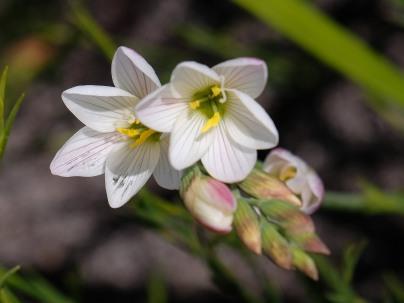 Geissorhiza sp.