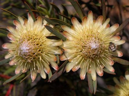 Protea scolymocephela