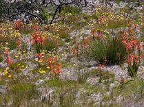 Watsonia schlechteri and Ursinia sp.